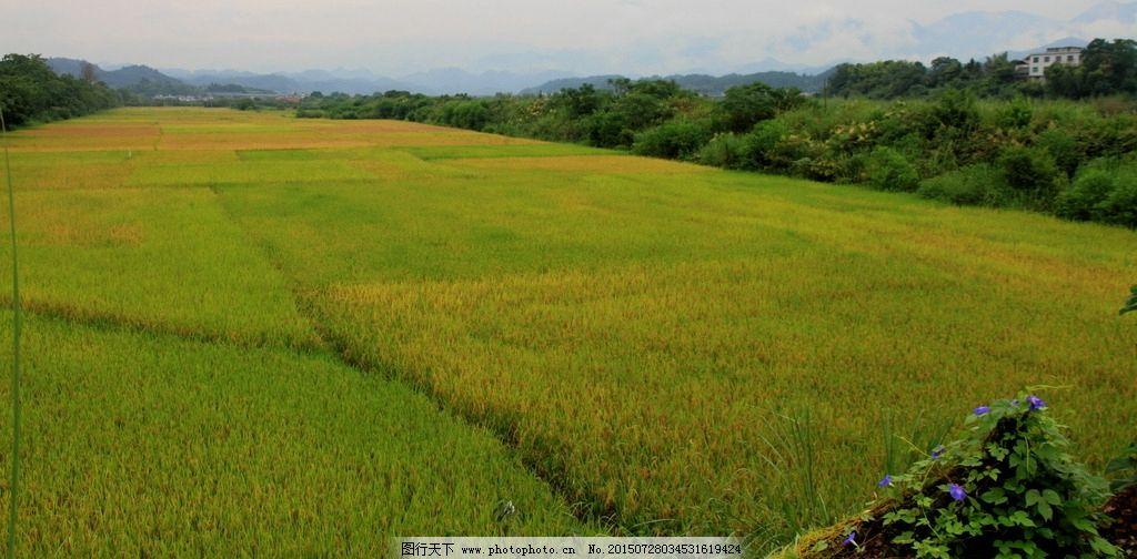田野 稻谷 金黄色的 金黄稻田 成熟的稻田 纹理 金黄稻谷 新农村 江西