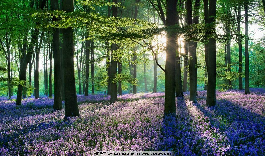 森林 紫色花海 绿色 唯美 清晨 电脑桌面屏保 摄影 自然景观 自然风景