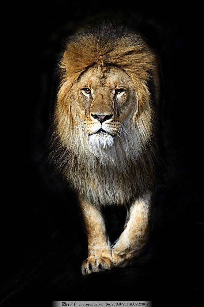威武的狮子 野生动物 动物世界 陆地动物 生物世界 图片素材 黑色