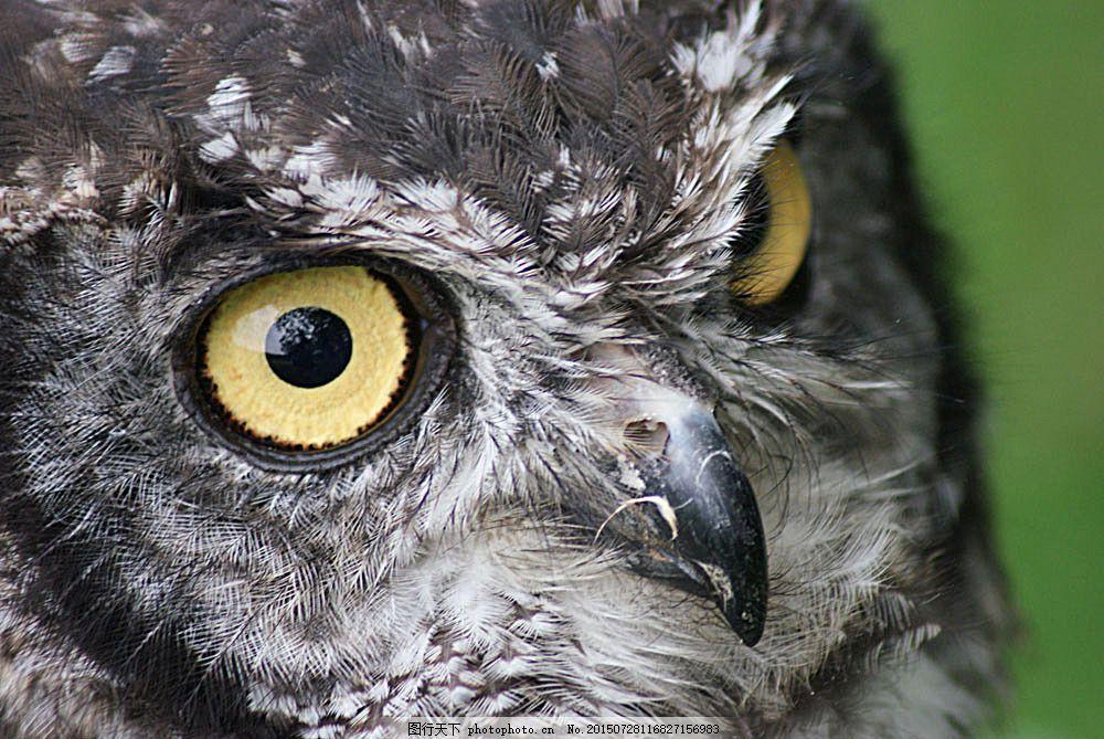 圆眼睛的猫头鹰 飞鸟 飞禽 动物摄影 鸟类动物 空中飞鸟 生物世界