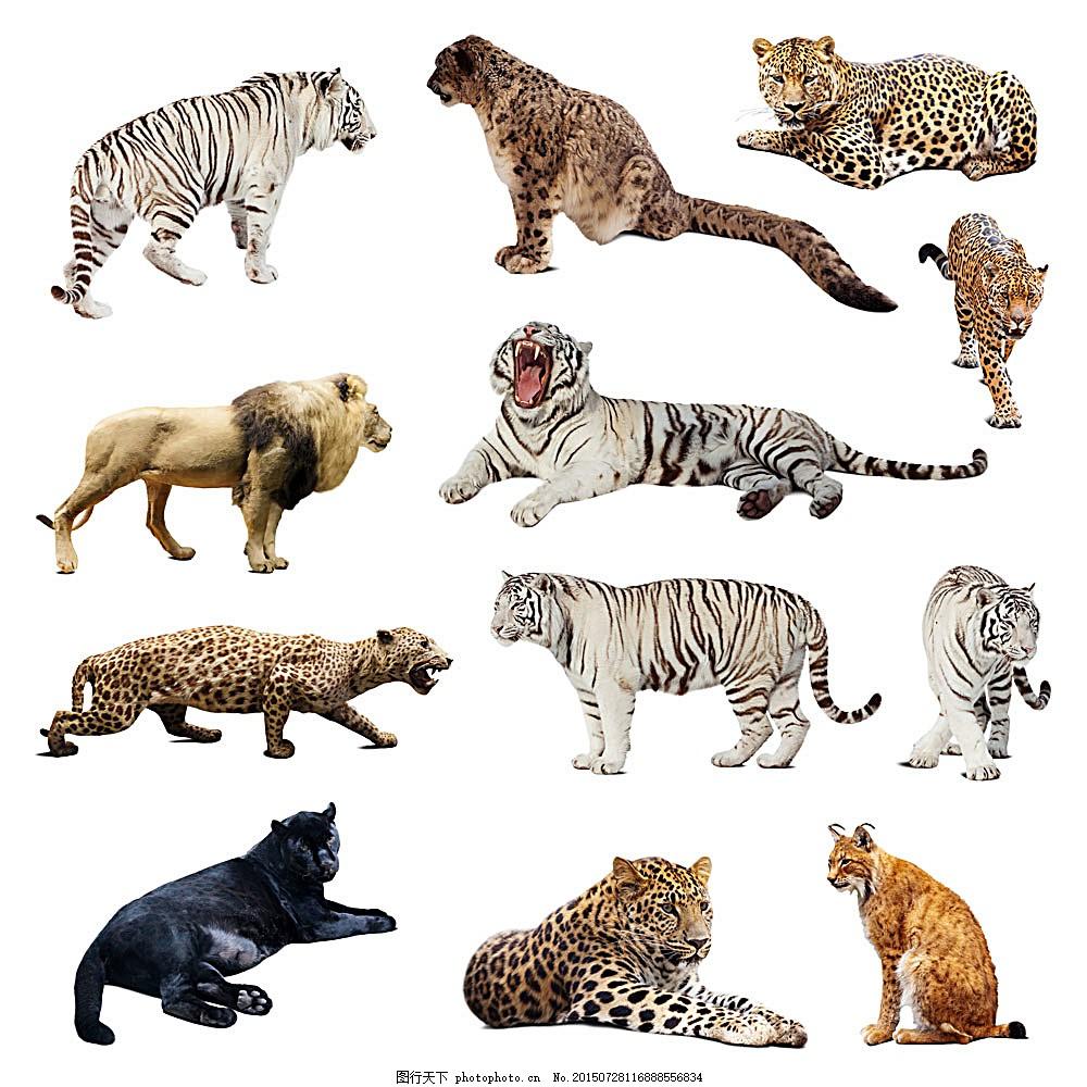 猫科动物 老虎 豹子 狮子 美洲狮 动物摄影 动物世界 陆地动物