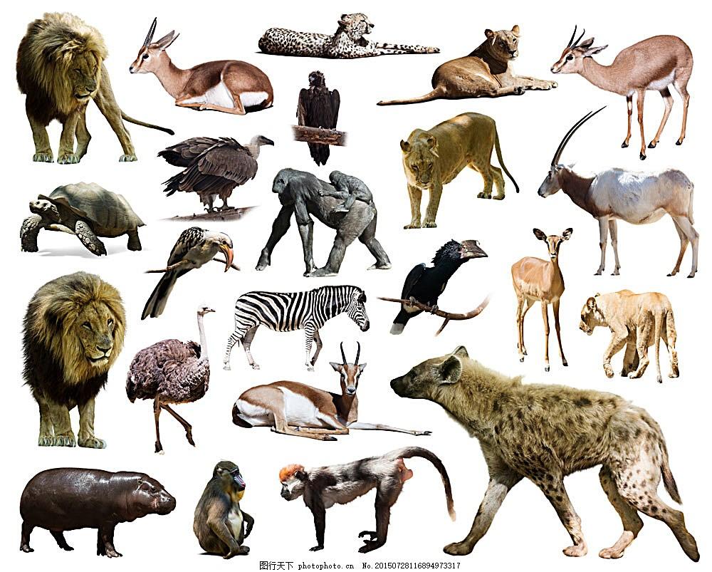 豹子 老虎 驼骆 动物 陆地动物 野生动物 动物世界 动物摄影 生物世界