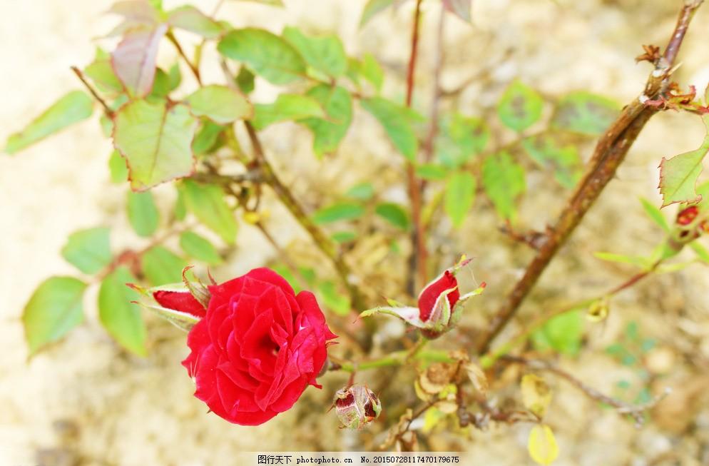 小王子的玫瑰花 玫瑰 小清新 美丽 浪漫 唯美 摄影 生物世界 花草 72