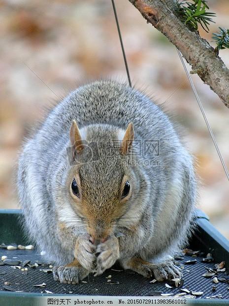 阳光下的小动物 灰色 松鼠 野生动物 吃 可爱 脂肪 灭鼠 种子阳光