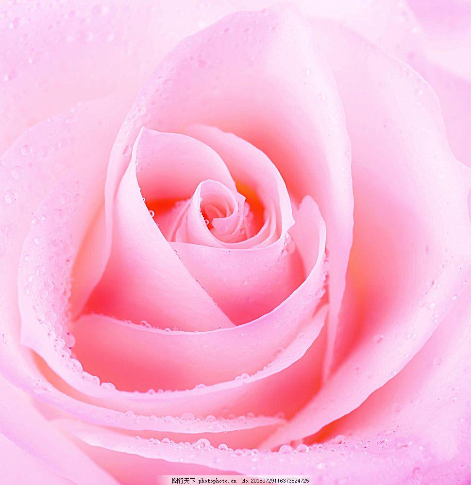 带水珠的玫瑰花 露珠 露水 美丽鲜花 漂亮花朵 花卉 花草树木图片