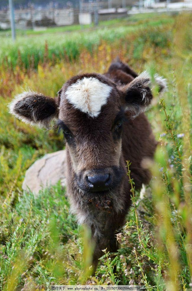 吃草 小牛 可爱的 动物 家禽 摄影 生物世界 家禽家畜 300dpi jpg