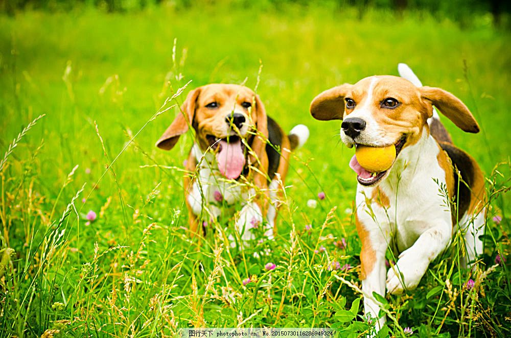 草地上的两只狗 陆地动物 野生动物 动物世界 动物摄影 生物世界 图片