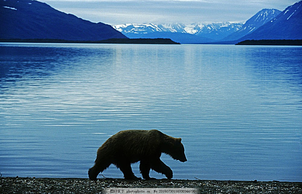 雪山湖泊美景与熊 脯乳动物 保护动物 狗熊 棕熊 野生动物 动物世界
