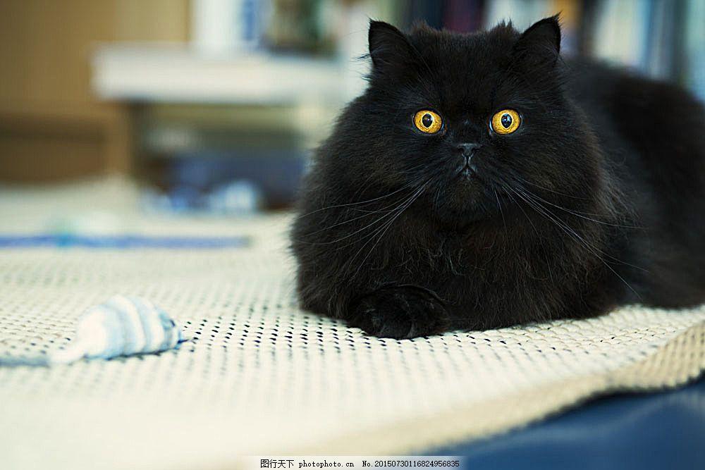 黑色宠物猫咪 小猫 黑猫 猫咪 萌宠 宠物猫 动物世界 可爱动物 陆地
