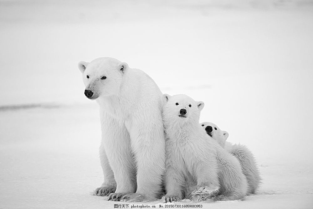 三只北极熊图片下载 雪地 北极熊 熊 动物 野生动物 动物世界 陆地