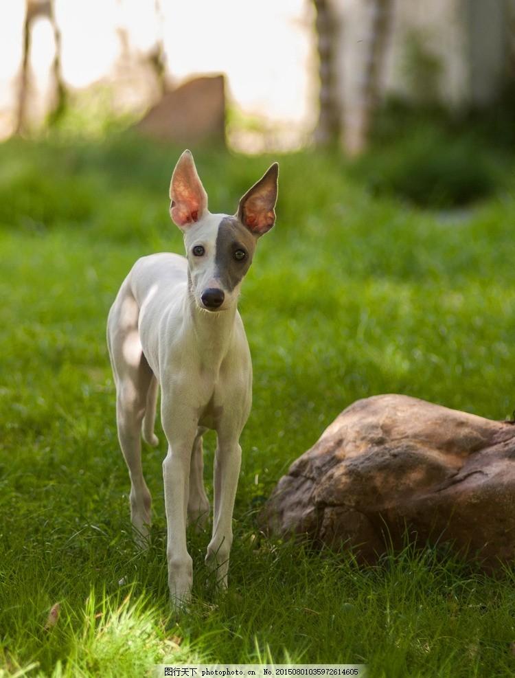 惠比特犬 可爱 宠物 狗 犬 小型犬 猎犬  摄影 生物世界 家禽家畜 240