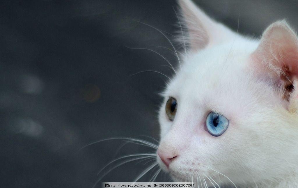 猫 白猫 猫咪 阴阳眼 蓝眼睛的猫 绿眼睛的猫 动物 摄影