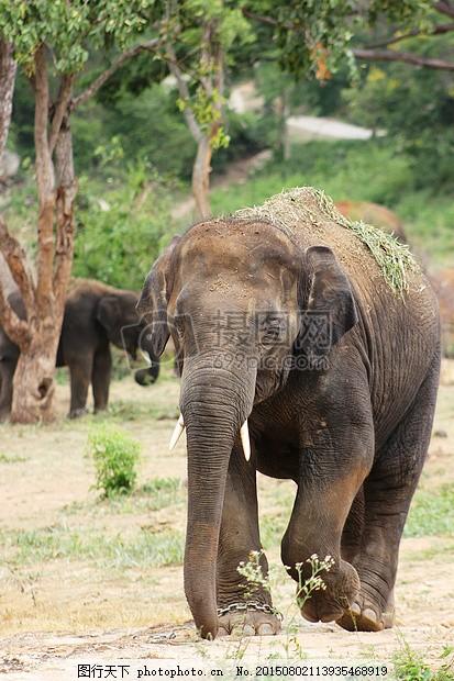 森林中的象群 大 自然 野生动物 走 野生动物园 对牙象群 黑色