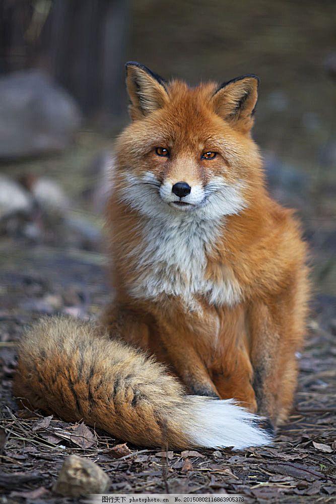狐狸 动物世界 动物摄影 陆地动物 生物世界 图片素材 黑色