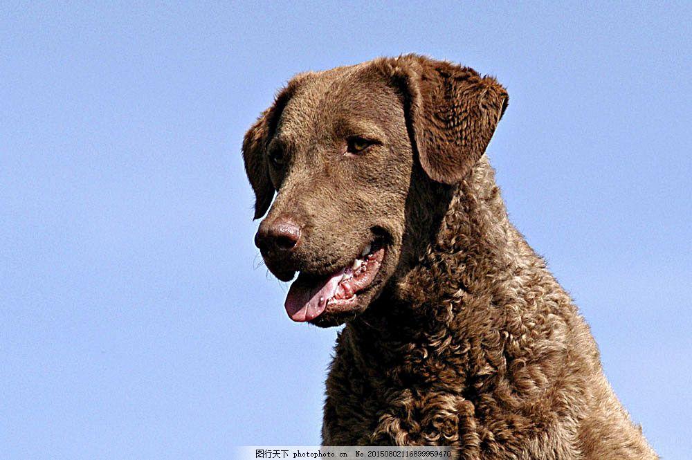 名贵犬种 宠物狗图片 可爱宠物狗图片 小狗图片大全 宠物 小动物 陆地