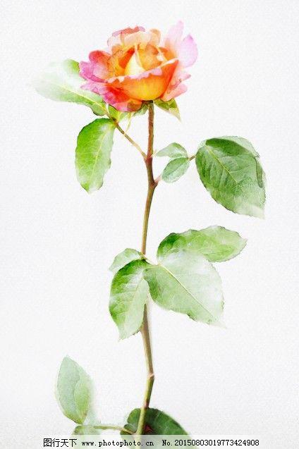 玫瑰月季水彩手绘图