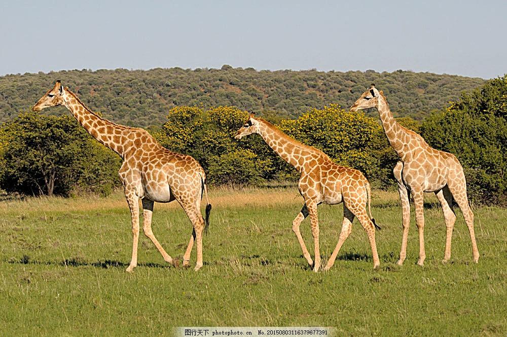 草原上的三只长颈鹿 动物世界 动物摄影 非洲草原动物 陆地动物