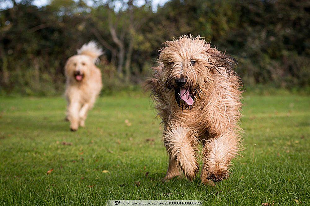草地上奔跑的狗狗 小狗 狗狗 草地 可爱小狗 快乐的小狗 宠物 动物