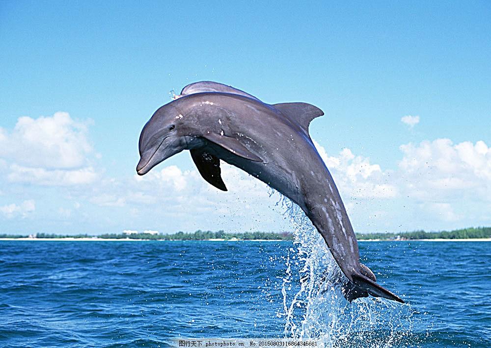 跃起的海豚 动物世界 生物世界 海底生物 大海 水中生物 图片素材