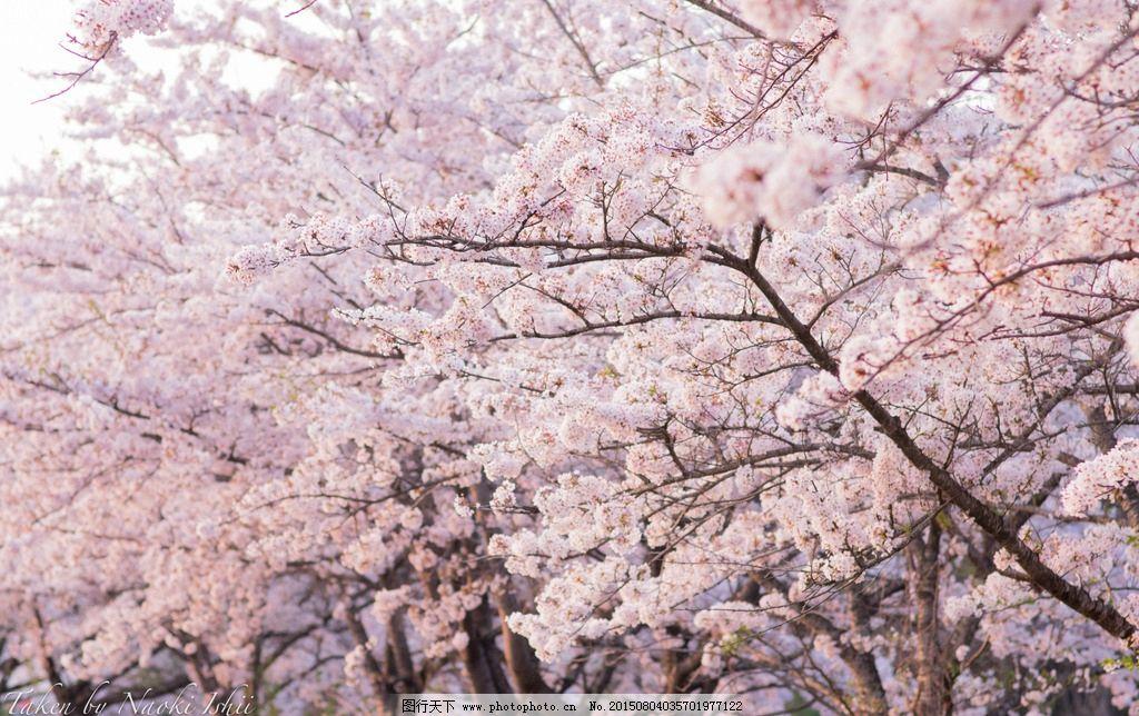 樱花 花 花朵 日本 樱花树