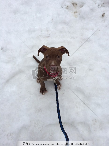 小狗 狗 撕破脸皮 可爱的 冬天 雪 狗链 可爱 眼睛 动物     红色 jpg