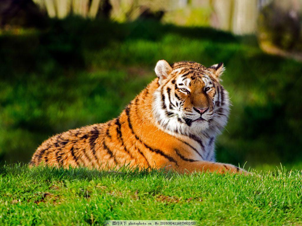 高清 公园 百兽之王 陆地动物 野生动物 动物 动物世界 动物摄影 老虎