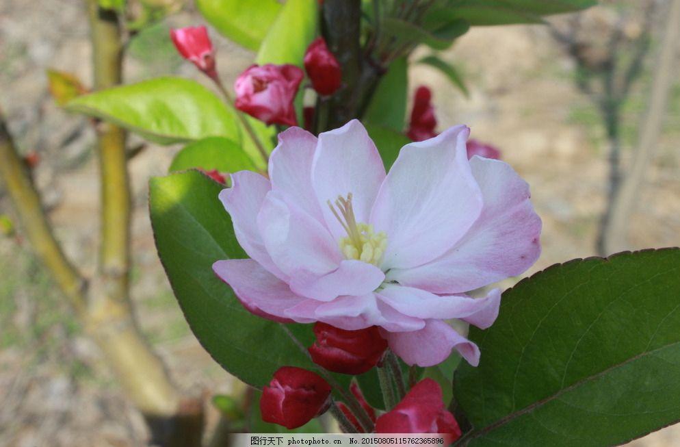 小蜗牛看苹果花故事_苹果花图片