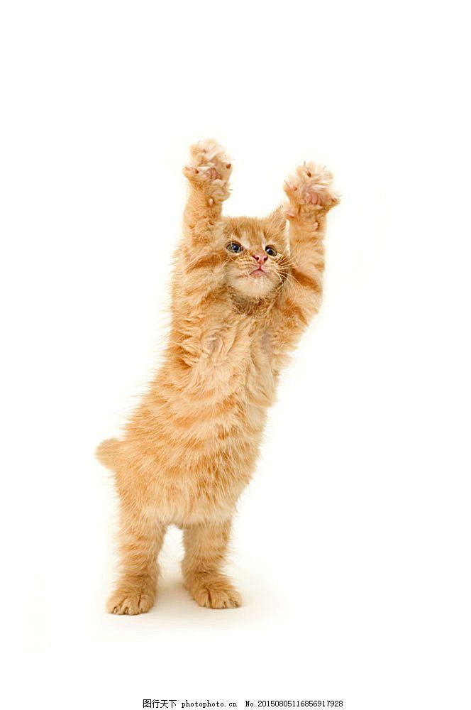 可爱猫咪 可爱动物 小猫 宠物猫 动物世界 陆地动物 生物世界