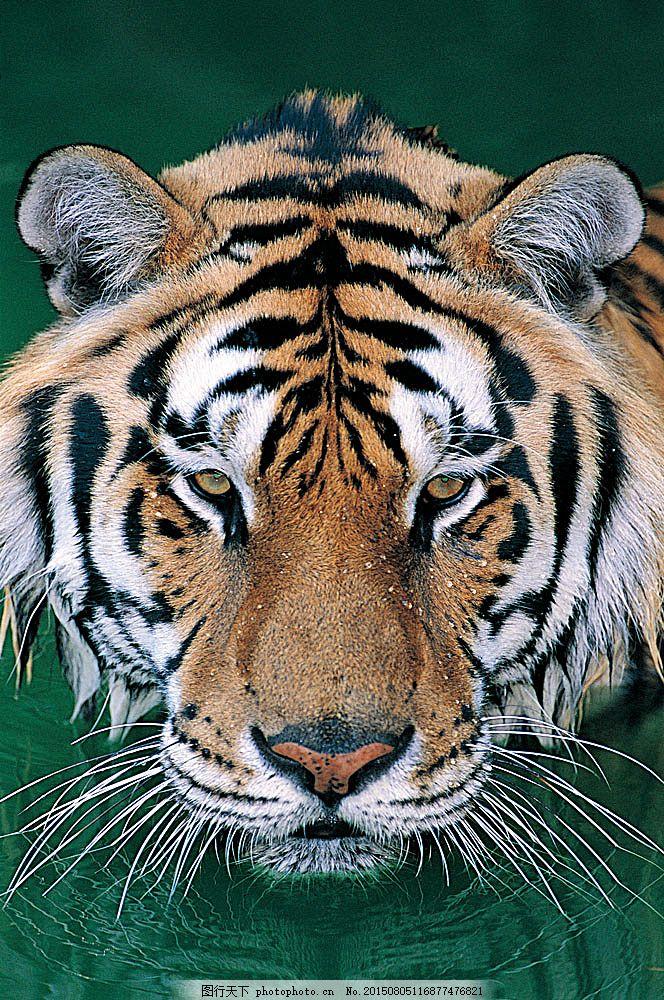老虎头部摄影 野生动物 动物世界 哺乳动物 老虎 喝水 摄影图 陆地