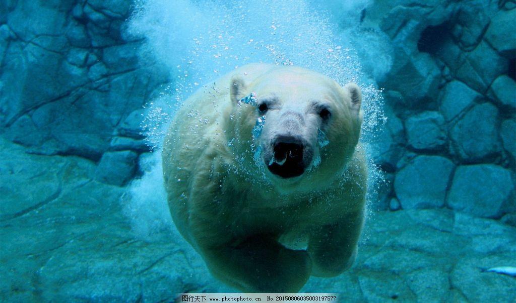 水下摄影 北极熊 大白熊 游泳北极熊 水底动物摄影 电脑桌面屏保 摄影