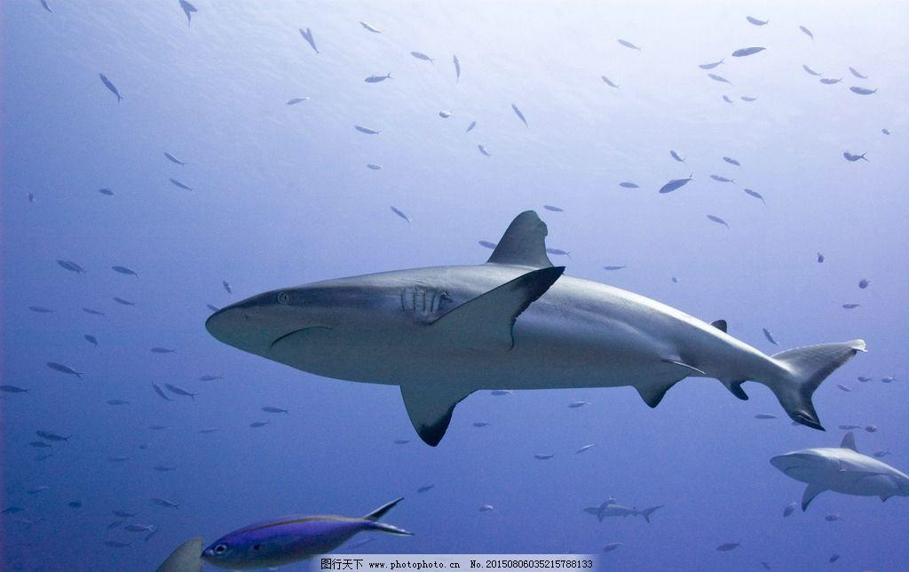 鲨鱼 海洋 海底 动物 鱼 深海鱼 鲸鱼 大海 潜水 吃肉鱼 大白鲨 生物