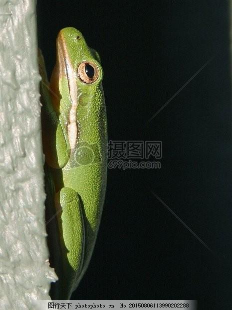 孤独的绿色青蛙 树蛙 垂直 爬 爬行动物眼睛 黑色 爬动 红色