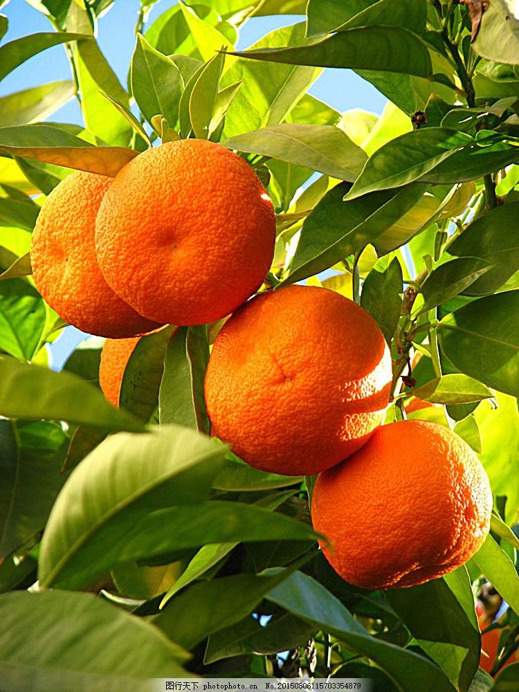 手机背景图 可爱橙子