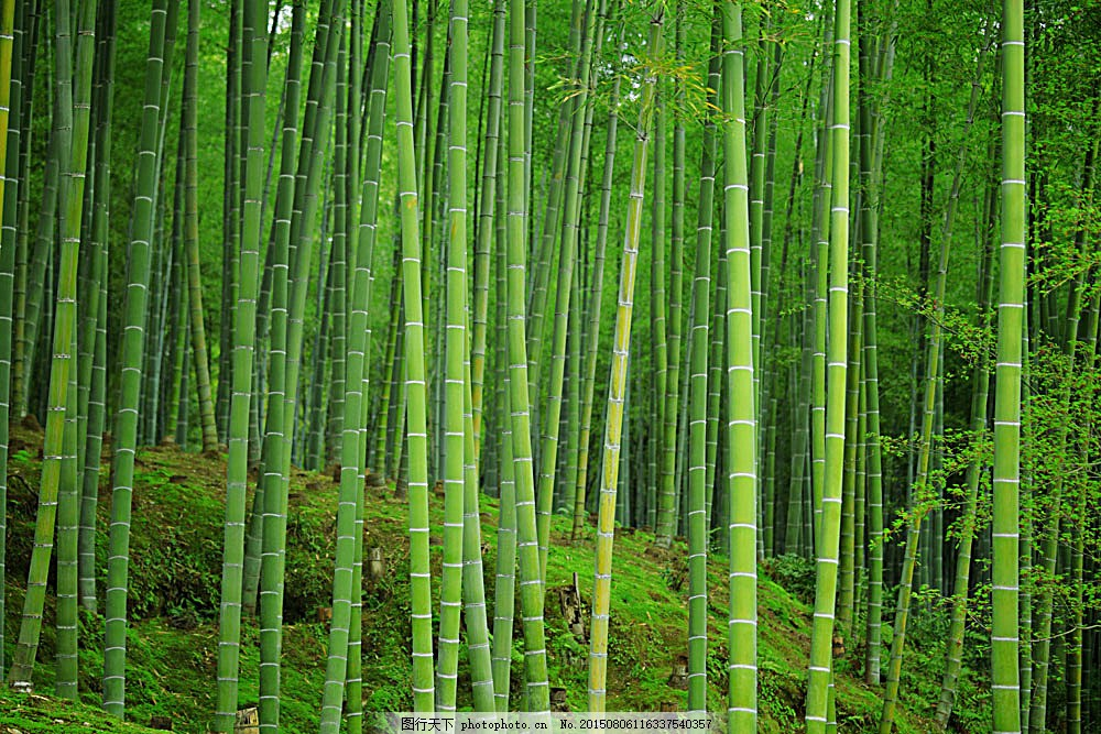 美丽竹林景色 绿竹 竹林风景 竹子 美丽风景 自然美景 自然景观