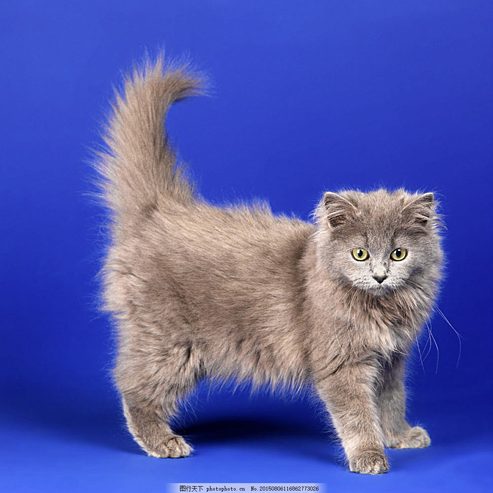 可爱小猫 猫咪 萌 波斯猫 宠物猫 动物世界 陆地动物 生物世界