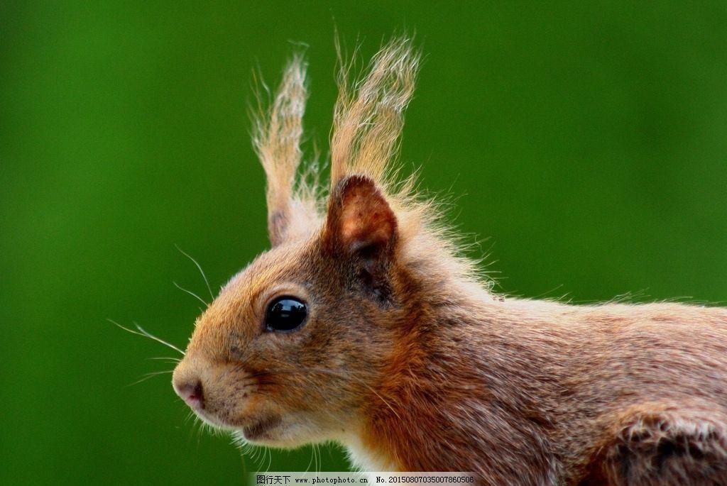 松鼠图 西藏松鼠 稻城亚丁松鼠 大松鼠 动物 摄影 生物世界 野生动物