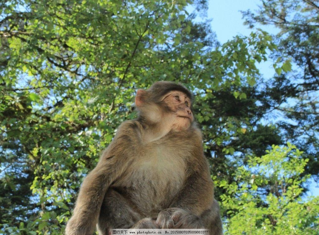 猴子 猴 动物 山猴 小猴 泼猴 摄影 生物世界 野生动物 72dpi jpg