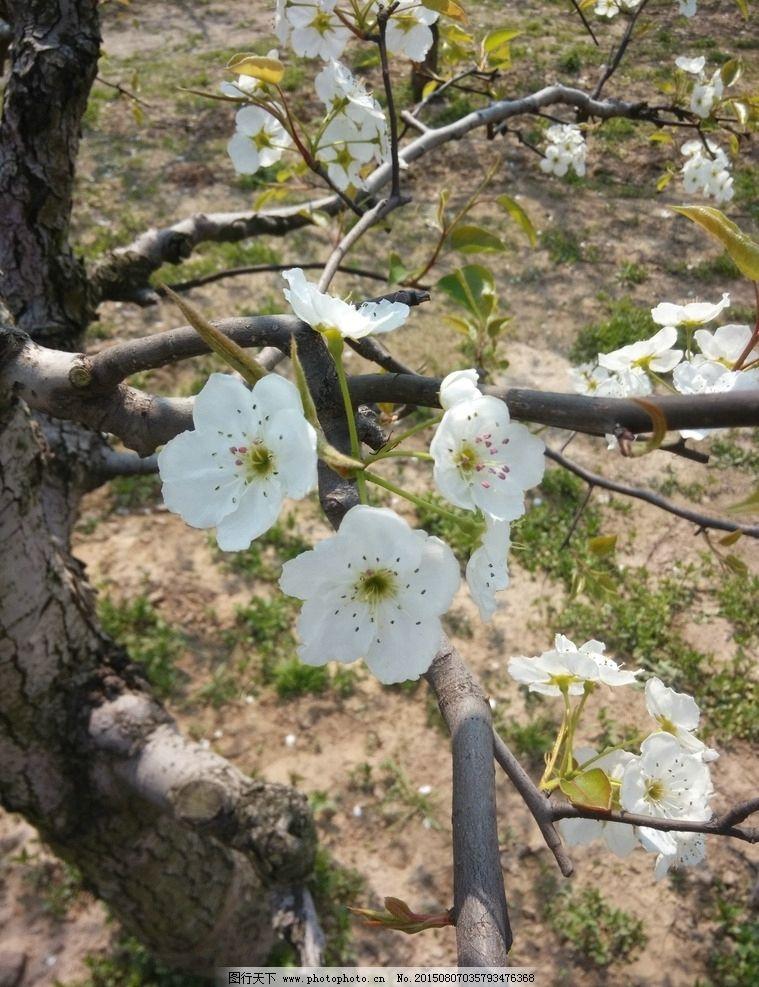 梨树 砀山 果园