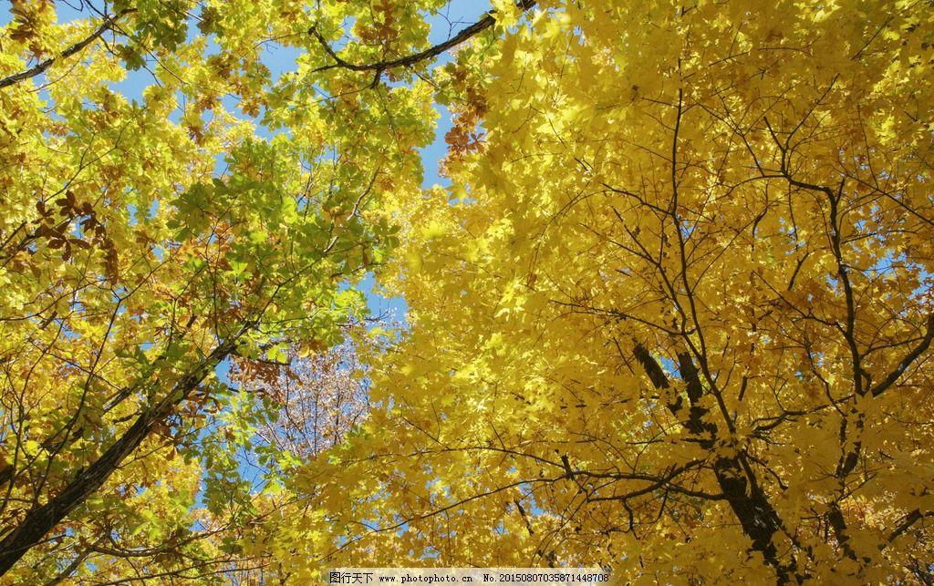 金色秋天 金色 黄色 树叶 大树 蓝天 黄色树叶 摄影 生物世界 树木