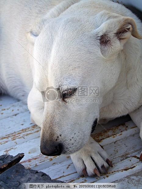 狗 狗的头 狗看 宠物 动物 动物世界 毛皮 明亮的外套 生物