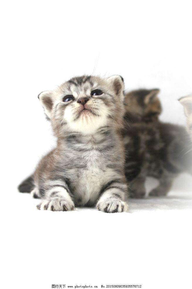 美国短毛 猫咪 折耳 猫猫 萌猫 摄影 生物世界 家禽家畜 72dpi jpg