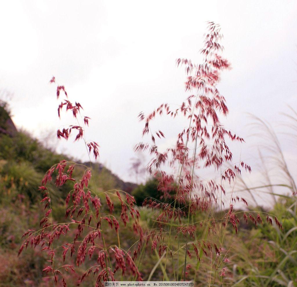 花 野花 花卉 紫色花朵 风吹茫花 树木 摄影 自然景观 自然风景 350