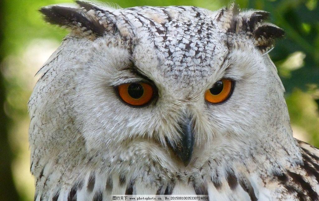 鹰 动物 鸟类 夜猫子 小猫头鹰 国家保护动物 动物 摄影 生物世界