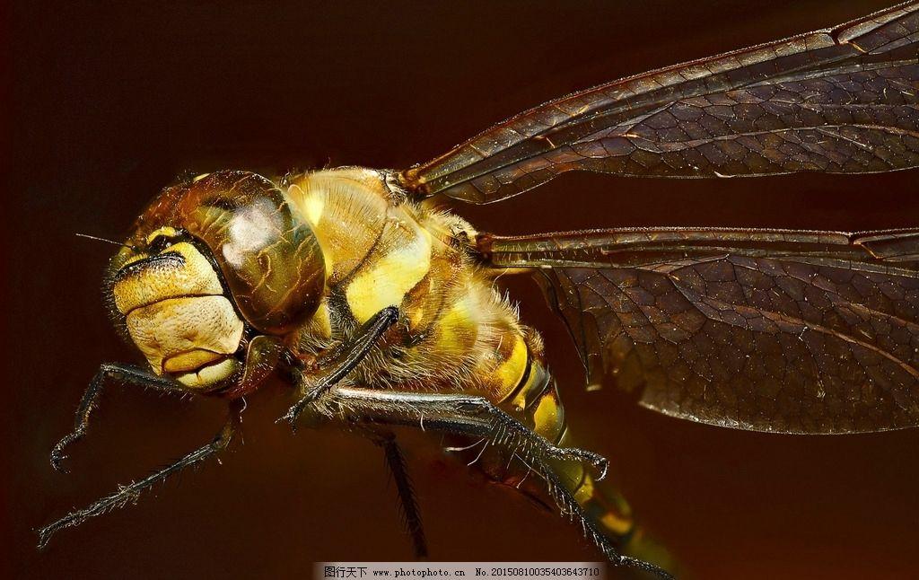 蜻蜓 昆虫 蜻蜓翅膀 小蜻蜓 大蜻蜓 蜻蜓特写 动物 摄影 生物世界