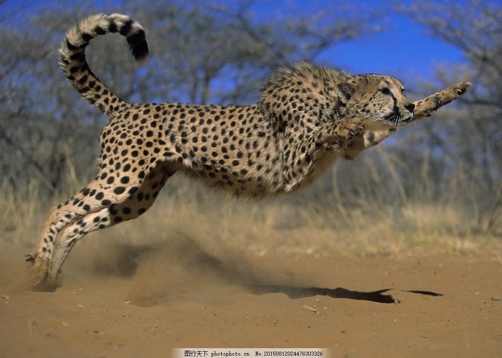 猎豹 动物 野生动物 金钱豹 森林 生态动物 摄影 生物世界 野生动物