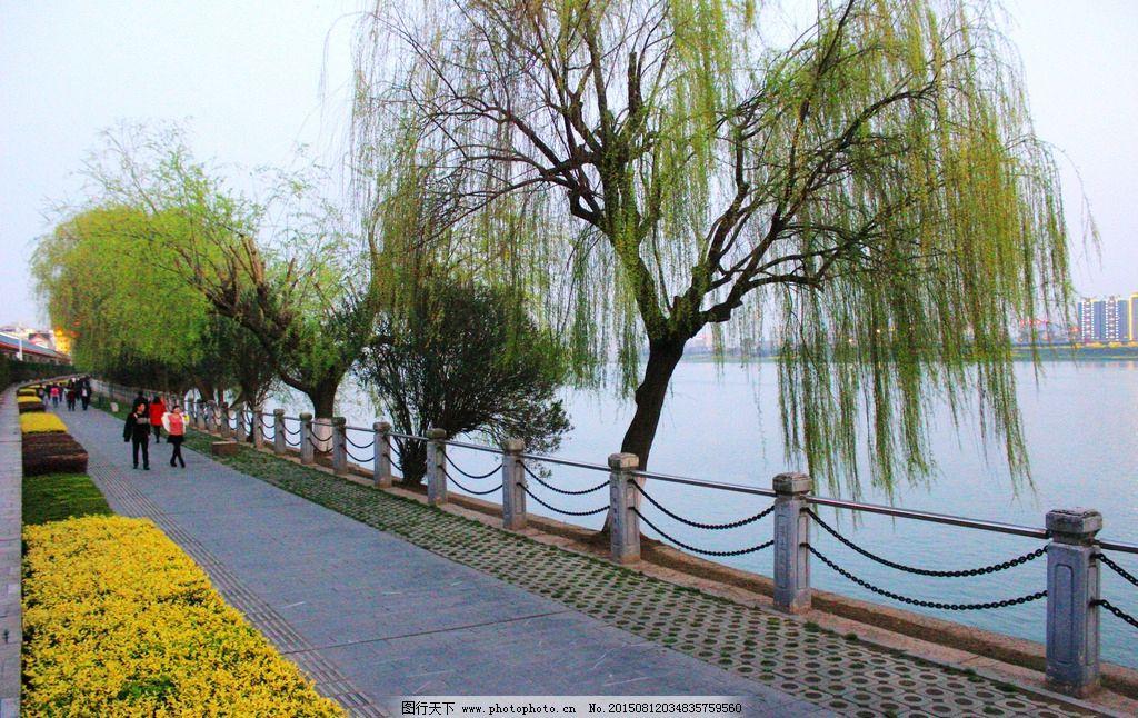 沅江岸边杨柳风景图片