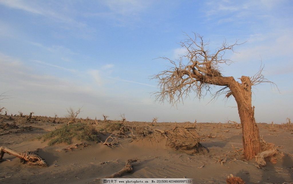 怪树林 枯树 老树 沙漠里的树 胡杨树 夕阳 西北胡杨林 防风林