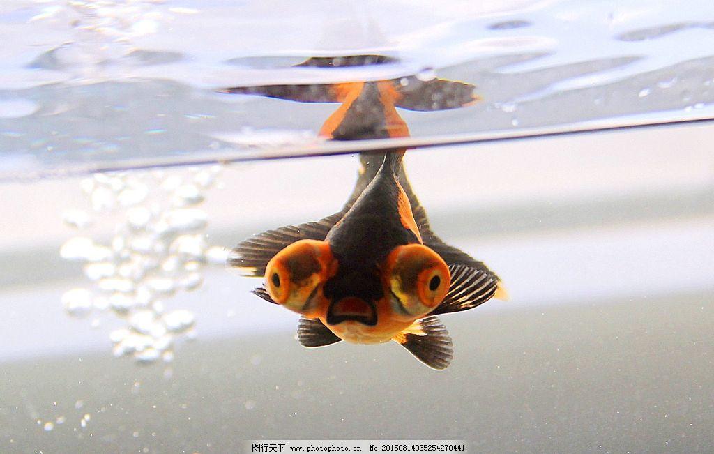 金鱼正脸图片