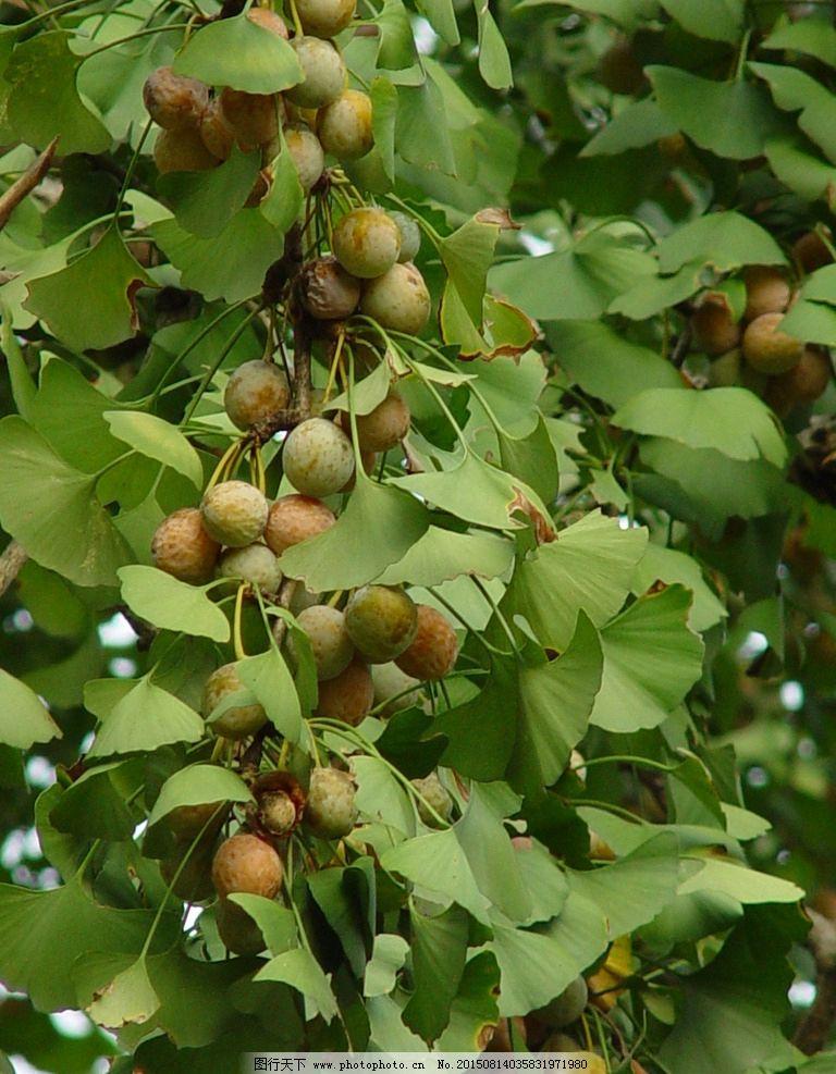 银杏 白果 树上的银杏 银杏树 银杏叶 带叶子的银杏 风景 花卉 摄影