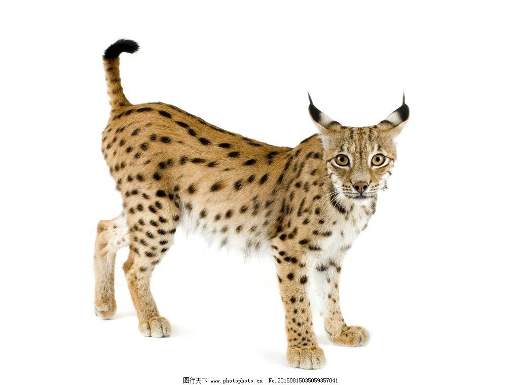 猞猁 野生动物 野生 珍贵动物 稀有动物 哺乳动物 野兽 毛皮 斑纹